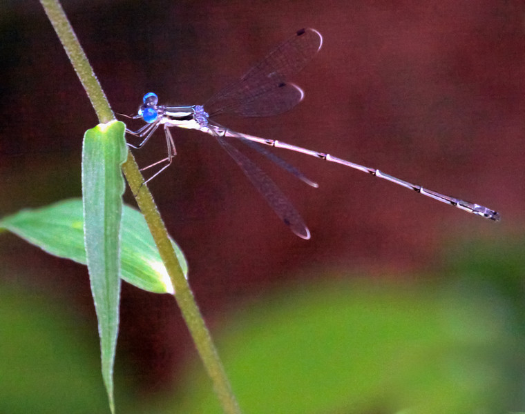 Blue Fronted Dancer Dragonfly, Argia apicalis, side view, wings out, flying insect in summer Phippsburg Maine