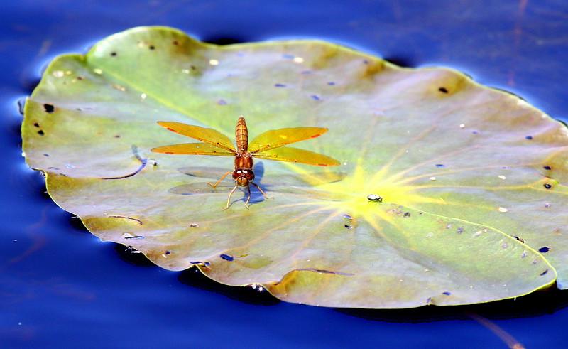 Eastern Amberwing Dragonfly On Lilypad, Parethemis tenera