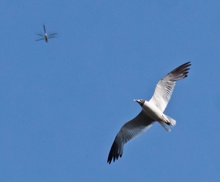 Laughing gull hawking dragonfly, August, Phippsburg Maine