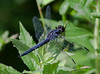 Species Libellula incesta - Slaty Skimmer dragonfly, Phippsburg Maine late July
