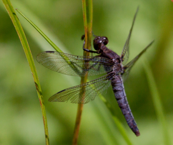 Phippsburg, Maine dragonfly, flying insect seen in grasslands, fields and meadows of Maine in the summer months