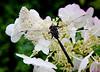 Dragonfly On Hydrangea Blossom