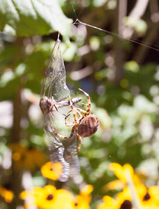 A Cross Spider, the biggest one I have ever seen, trying to subdue a dragonfly caught in its web. Cross spiders are orb weaver spiders. They spin an elaborate web to capture prey. They build a new web every day. This one attempted to tackle this dragonfly three times before being able to subdue it. The dragonfly put up a great fight. Once the spider fell  to the ground, a distance that for a human would have been about 50 feet! It climbed all the way back to its web, which took over two hours. Oh, the drama!