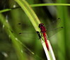 Meadowhawk, red dragonfly resting on blade of grass, Phippsburg, Maine