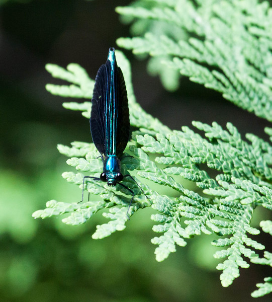 Ebony Jewelwing (Calopteryx maculata) is a species of broad-winged damselfly. Male photographed in Baxter State Park, Millinocket Maine