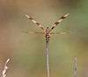 Halloween Penant dragonfly, perched on a stick, frontal view, Phippsburg, Maine