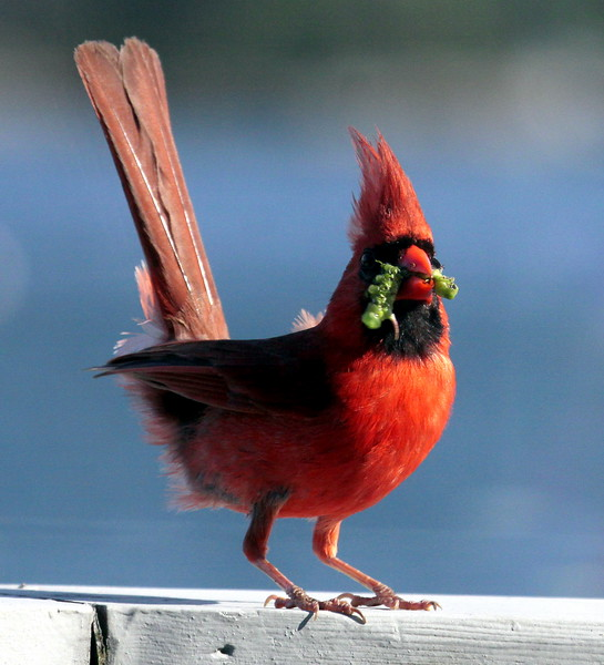 Northern Cardinal eating tomato  Horn Worm Maine, insect