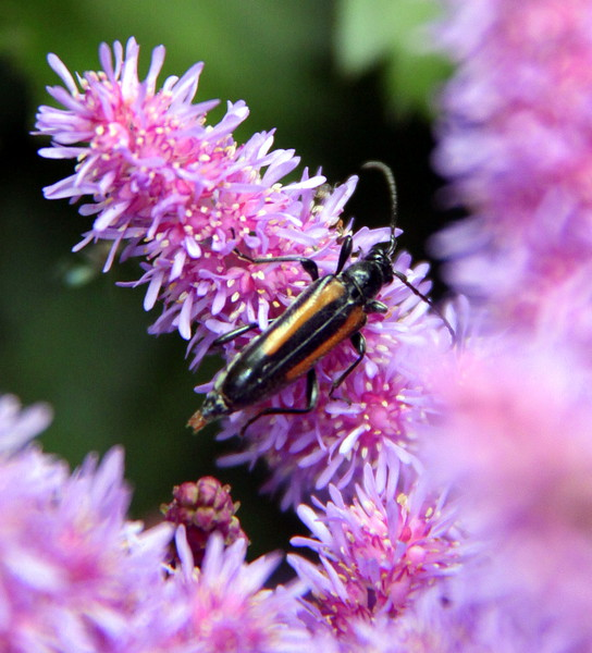 Beetle On Pink Astilbe Maine, insect Longhorn beetle