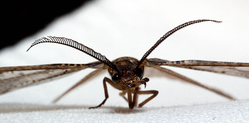 Summer Fishfly - Chauliodes pectinicornis - Female, Phippsburg, Maine early July
