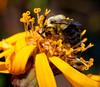 Bumblebee in ligularia blossom, Phippsburg Maine
