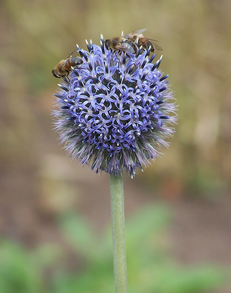 Hover fly trio working on a echinops blossom, Phippsburg Maine. Hover flies are significant pollinators, especially in the fall.