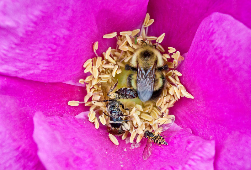 Honey Bee, Bumble Bees and Golden Hover Fly feeding on nectar and gathering pollen from center of pink rosa rugosa, Phippsburg, Maine