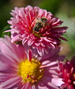 Hover Fly on chrysanthemum