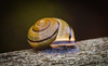 Terrestrial snail, a mollusk that carries its shell on its back, Squirrel Island, Maine