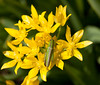 Green grasshopper on yellow Moly allium flowers, Phippsburg, Maine