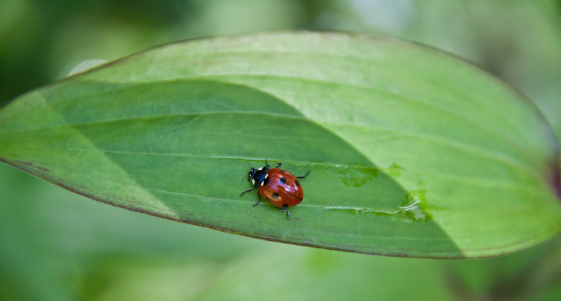 Ladybug beetle on green leaf