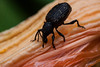 Black Vine Weevil,<br /> Otiorhynchus sulcatus Fabricius is a serious pest in nurseries and established landscape plantings. A native of Europe, this species was first reported in Connecticut in 1910. This key pest is the most destructive and widely distributed species of root weevils in the genus Otiorhynchus. Adults and larvae prefer rhododendron, Rhododendron spp., yew, Taxus spp., euonymus, Euonymus spp., and Japanese holly, Ilex crenata. Larvae also feed on the roots of hemlock, Tsuga spp. This pest has been recorded on more than 100 species of cultivated and wild plants. Some landscape pest managers refer to this insect as the taxus weevil.<br /> beetle, possible a type of weevil, on daylily blossom, Phippsburg Maine garden, mid August
