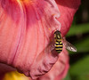 "A Syrphid Fly (sometimes called ""flower flies"" or ""hover flies"") on a Daylily petal"