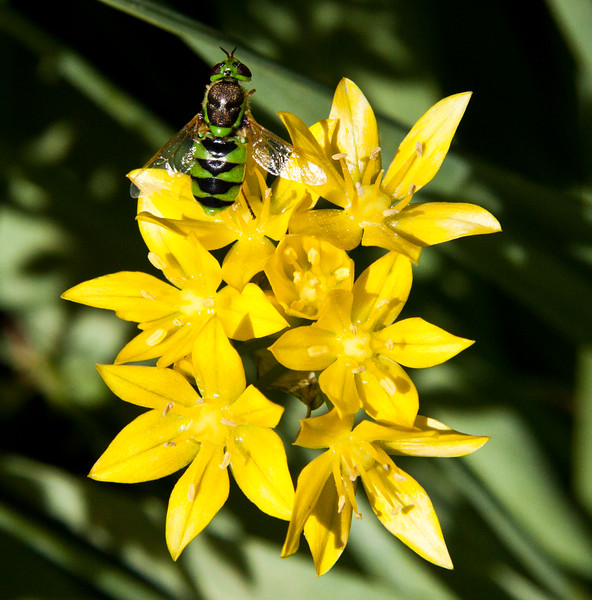 Green metallic bees (genera Agapostemon, Augochlora, and Augochlorella,