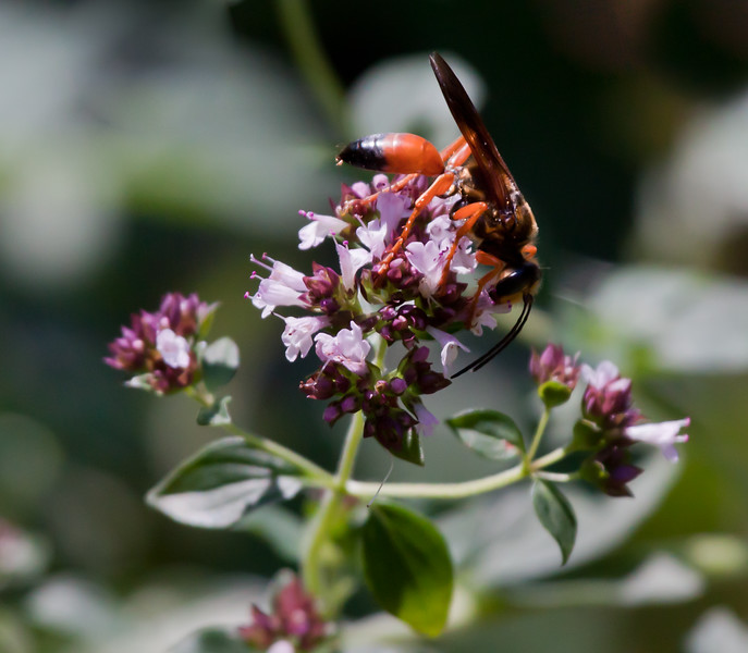 Giant Digger Wasp on oregano flowers. Phippsburg Maine garden. Latin name is Sphex ichneumoneus