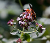 Giant Digger Wasp on oregano flowers. Phippsburg Maine garden. Latin name is Sphex ichneumoneus
