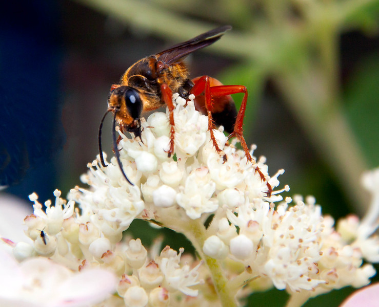 The Great Golden Digger Wasp, Sphex ichneumoneus is a large, orange and black wasp in the family of digger wasps. They are predators that sting and paralize thier prey, mostly other insects. This hydrangea was covered with them. They are fast moving and wary of anything big enough to prey on them: namely people. This made them hard to photograph as they  don't stay in place for long. Phippsburg Maine mid July