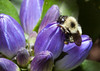 "A Bumble Bee pollinating a Bottle Gentian, Gentiana andrewsii blossom, Phippsburg Maine, September first. Bottle Gentians are indigenous Maine wildflowers. The blossoms in this photo are as open as they will be, thus the name ""bottle."" The one and only pollinators of this plant are these big Bumble Bees. They are the only insects large enough to pry open the flowers and climb inside for the pollen."