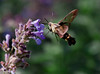 "Hummingbird Sphinx Moth, Phippsburg Maine, enjoying nepeta, or ""Catmint"""