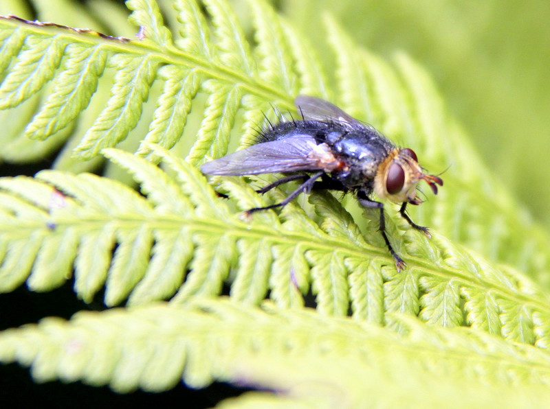 Fly On Fern Maine, insect