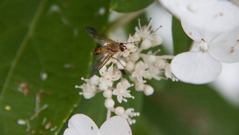 Fly on hydrangea blossom, mid July, Phippsburg, Maine