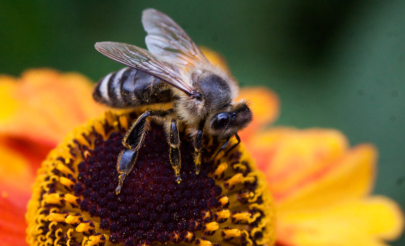 A pollen covered bee working the center of a Helenium flower