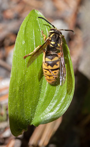 Yellow Jacket wasp on leaf of Canadian Mayflower. I was photographing an other subject when this wasp land nearly in my face. It was cleaning itself, as can be seen by hind leg up over its back. Normally, I would avoid these creatures as they deliver a very painful sting.