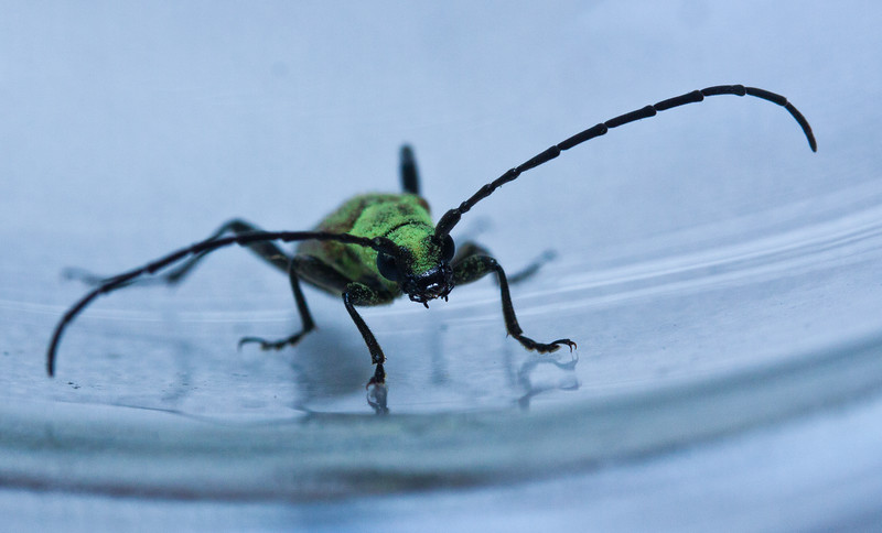 Horn Beetle, Maine, insect, frontal view Longhorn beetle