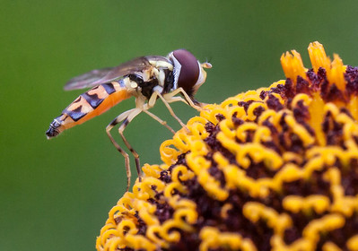 A Hover Fly feeding on pollen of Helenium, also called Sneeze Weed. Hover flies eat thousands of larvae of aphids. They are beneficial pollinators, too.  Phippsburg, Maine mid August.