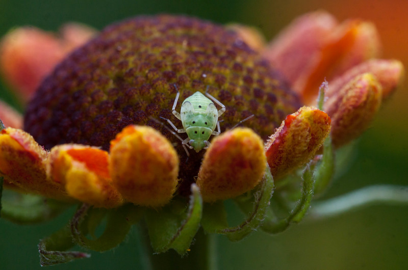 """I think this is a Spotted Green Pineneedle Aphid,  Eulachnus agilis on Helenium, also called Sneeze weed, in a Phippsburg, Maine garden. It occurs throughout Europe and parts of Asia, and has been introduced to North America. They can often be found feeding on old pine needles. For more than you might ever need to know about aphids (and other insects), see <a href=""""http://influentialpoints.com/Gallery/Aphid_genera.htm"""">http://influentialpoints.com/Gallery/Aphid_genera.htm</a>"""
