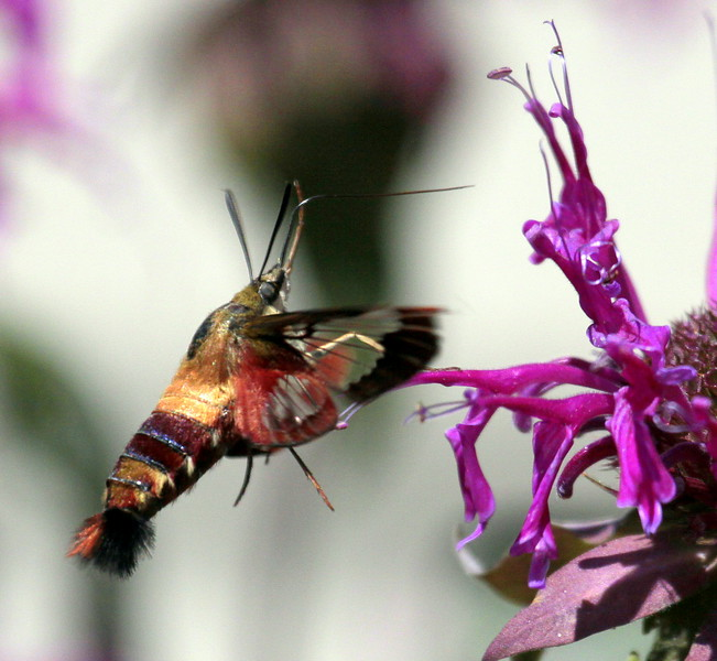 Hummingbird Clearwing Sphinx Moth on Bee Balm, Maine Maine, insect