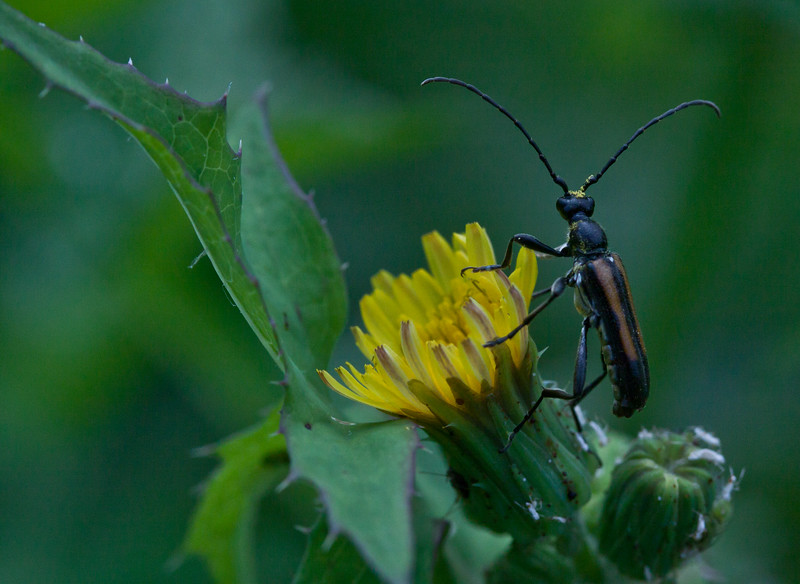 Horn Beetle on yellow Prickly Lettuce flower, Phippsburg, Maine. Prickly Lettuce is an indigenous wildflower.