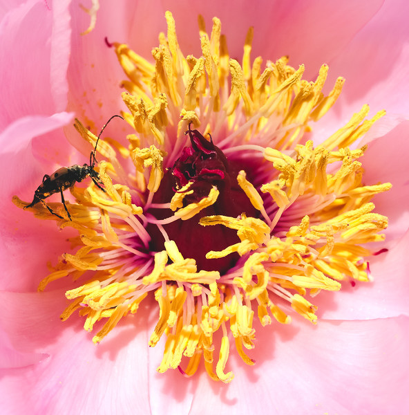 Longhorn beetle feeding on pollen of pink tree peony
