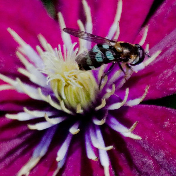 Hover Fly on Clematis Maine, insect