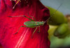 True Katydid nymph on Daylily petal, mid August Phippsburg Maine