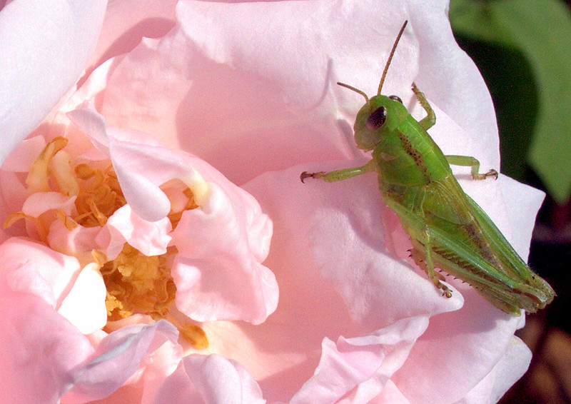Baby Grasshopper On New Dawn Rose Maine, insect