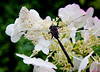 Dragon Fly on Hydrangea, fall, Maine Maine, insect