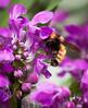 Maine, insect, Bombus ternarius, Bumble Bee on Lamium flowers, coastal Maine, Phippsburg Garden