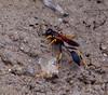 Mud Dauber wasp, Phippsburg, Maine