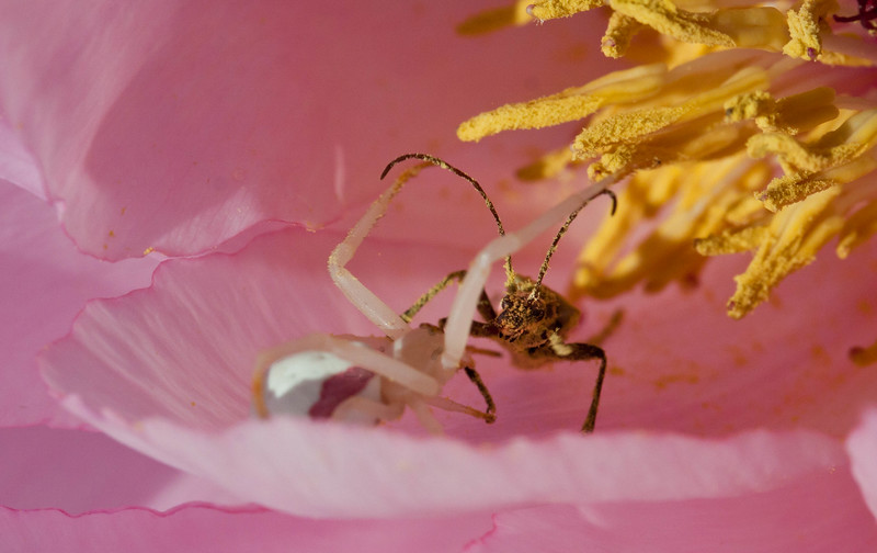 A Pink Crab spider ambushes a Horn beetle feeding on pollen in a tree peony. Phippsburg Maine insect drama