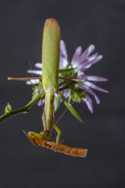 """Praying Mantis, the eggcorn is Preying Mantis. There are thousands of spieces of this insect, which is in the family with cockroaches. Here it is eating a caterpillar. This predatory insect (thus, the eggcorn """"Preying"""") will eat frogs and sometimes hummingbirds."""