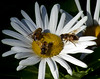 Hover Fly Triology On Montauk Daisy Maine, insect