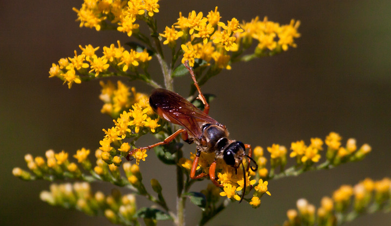 Giant Digger Wasp feeding on yellow Goldenrod flowers, Phippsburg, Maine