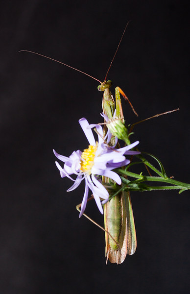 Praying Mantis, the eggcorn is Preying Mantis
