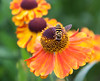 Hover Fly on Helenium flower, Phippsburg Maine mid August
